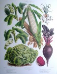 Botanical No.31,1880 Lettuce Beet Corn Bean Onion by Vilmorin Seed Co - offset lithograph fine art print