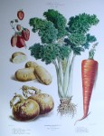 Botanical No.32,1881 Strawberry Celery Carrot Onion Potato by Vilmorin Seed Co - offset lithograph fine art print