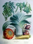 Botanical No.34,1883 Botanical No.34,1883 Squash Leek Peas Onion Carrot by Vilmorin Seed Co - offset lithograph fine art print