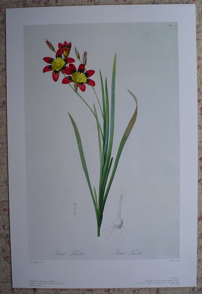 Botanical, Ixia Tricolor by Pierre Joseph Redoute, shown with full margins - offset lithograph fine art print