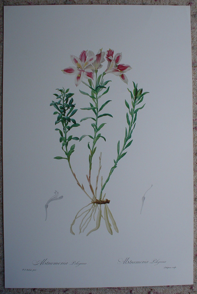 Botanical, Lily Of The Incas, Alstroemeria Pelegrina by Pierre Joseph Redoute, shown with full margins - offset lithograph fine art print
