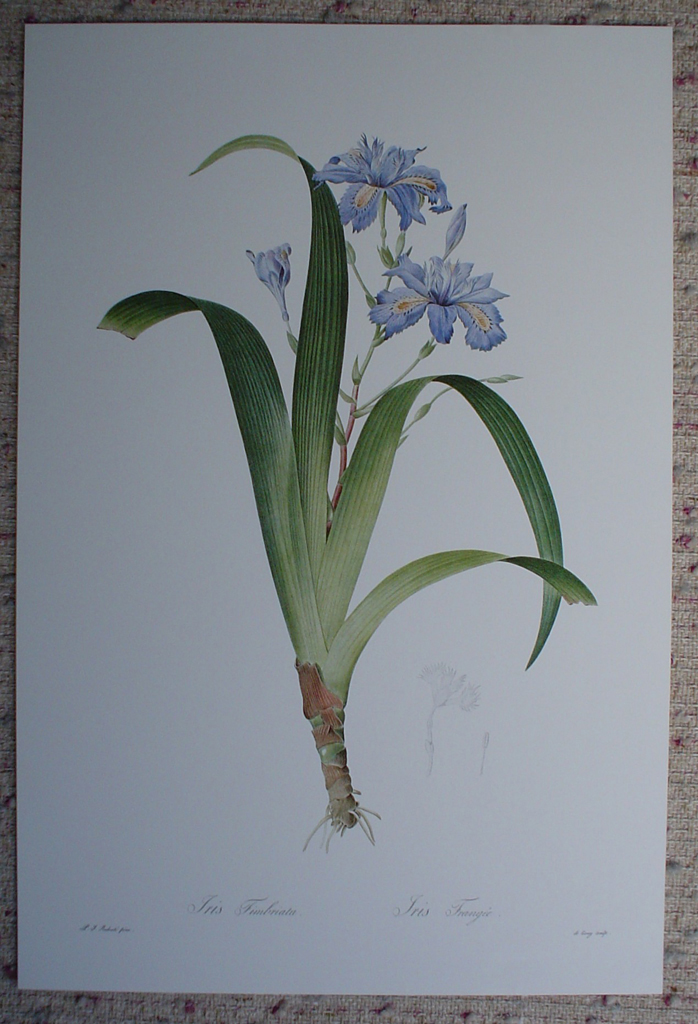Botanical, Iris Japonica by Pierre Joseph Redoute, shown with full margins - offset lithograph fine art print