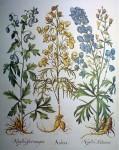 Botanical, Antora by Basilius Besler - offset lithograph fine art print