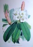 Rhododendron Argenteum, Himalaya by Joseph Dalton Hooker - offset lithograph botanical fine art print