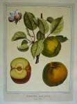 Pomona Gallica, Gros Faras by Duhamel du Monceau - restrike etching, hand-coloured botanical original print