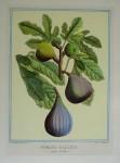 Pomona Gallica, Figue Violette by Duhamel du Monceau - restrike etching, hand-coloured botanical original print