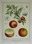 Pomona Gallica, Fenouillet Rouge by Duhamel du Monceau - restrike etching, hand-coloured botanical original print