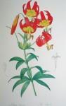 Botanical, Lilium Superbum by Pierre Joseph Redoute - offset lithograph fine art print