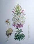 Botanical, Lilium Washingtonianum by unknown artist - offset lithograph fine art print