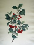 Botanical, Cherries by unknown artist - restrike etching, hand-coloured original print