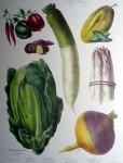 Botanical No.10,1859 Cucumber Asparagus Turnip Pepper Potato Lettuce by Vilmorin Seed Co - offset lithograph fine art print