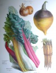 Botanical No.13,1862 Swiss Chard Vegetable Oyster Turnip Onion by Vilmorin Seed Co - offset lithograph fine art print