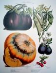 Botanical No.23,1871 Eggplant Squash Radish Okra by Vilmorin Seed Co - offset lithograph fine art print