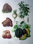 Botanical No.26,1875 Melon Potato Turnip Peas Cucumber by Vilmorin Seed Co - offset lithograph fine art print