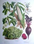 Botanical No.31,1880 Lettuce Beet Corn Bean Onion by Vilmorin Seed Co - offset lithograph fine art print